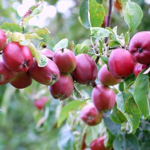 Саженец яблони колоновидной Тамара