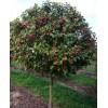 Яблоня штасбовая Краса Росса