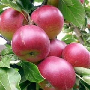 Саженец яблони Звездочка