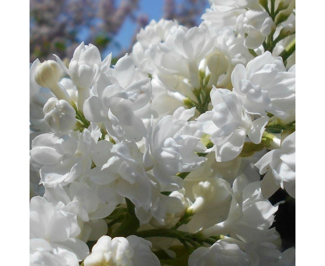 Саженец сирени Белая-NB: фото и описание