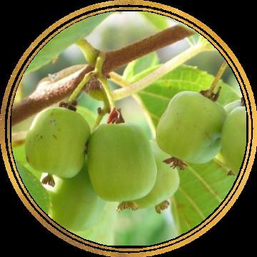Саженец Актинидии Виноградная: фото и описание