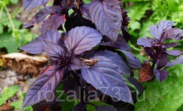 Семена Базилика Фиолетовый Арт. 5110