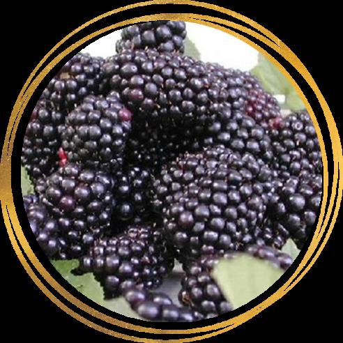 Саженец ежевики Джамбо: фото и описание