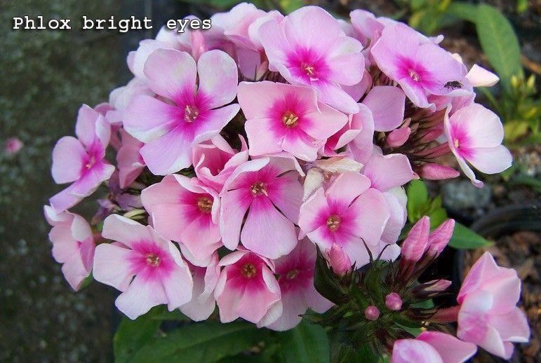 Саженец флокса метельчательного Bright Eyes: фото и описание