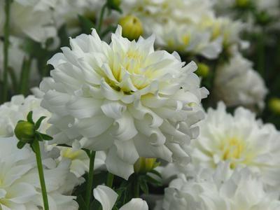 Клубни Георгина Snowflake - Сноуфлейк: фото и описание