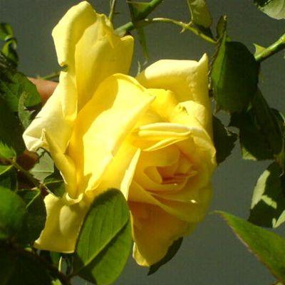 Саженец плетистой розы Клаймбинг Голдмари: фото и описание