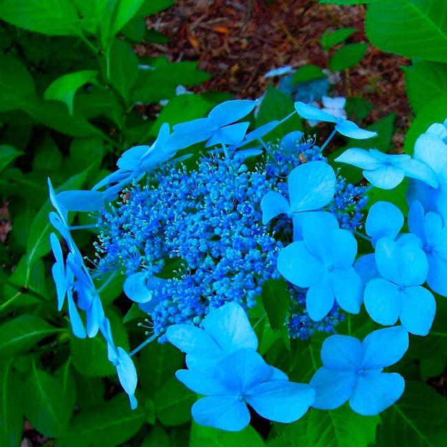 Саженец Гортензии Blue Bird: фото и описание