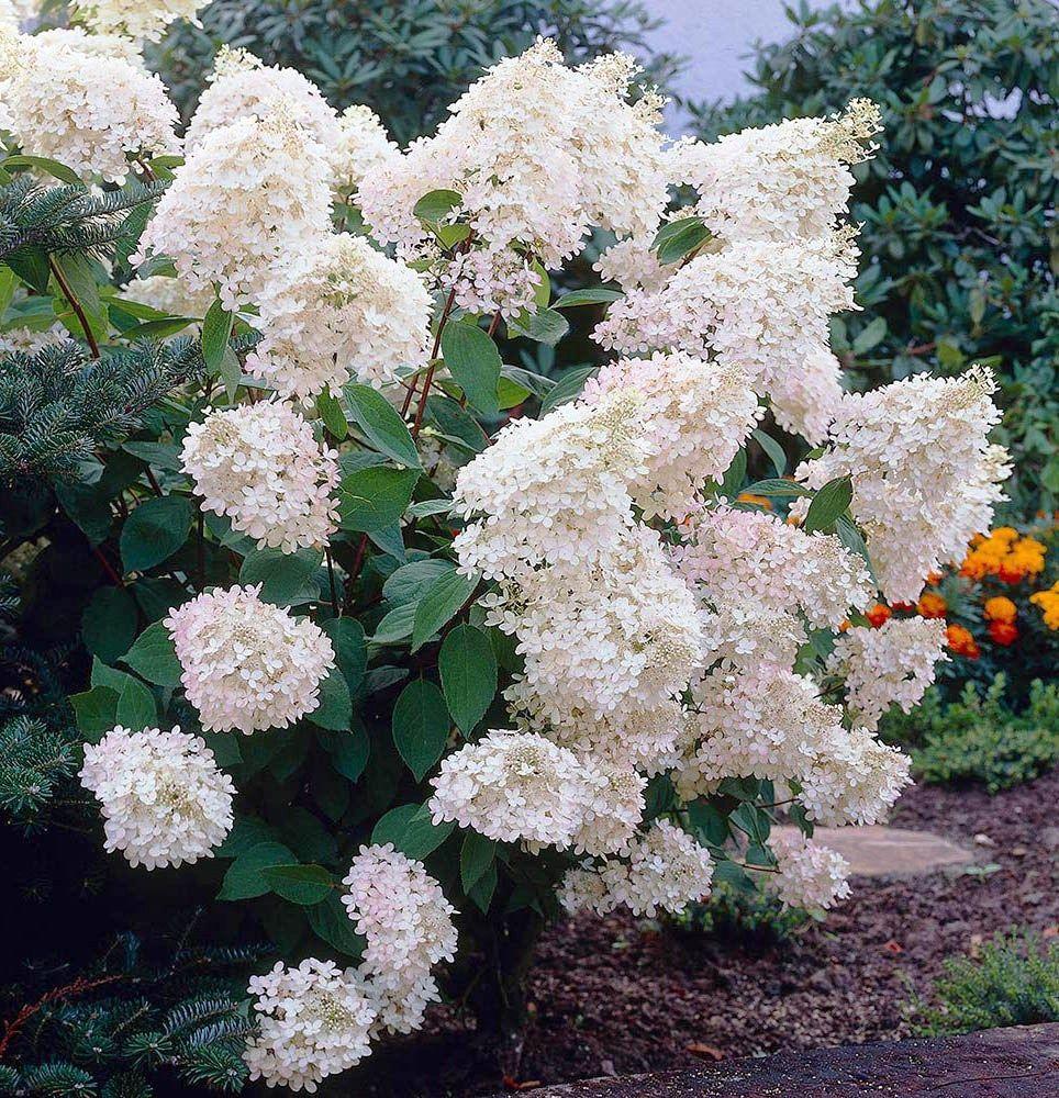Саженец Гортензии Grandiflora (Грандифлора): фото и описание