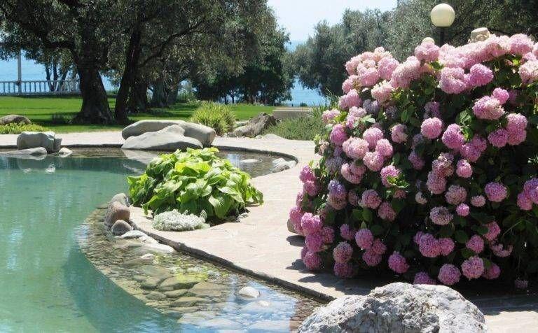 Саженец Гортензии крупнолистной Уайт пинк ( White pink ): фото и описание