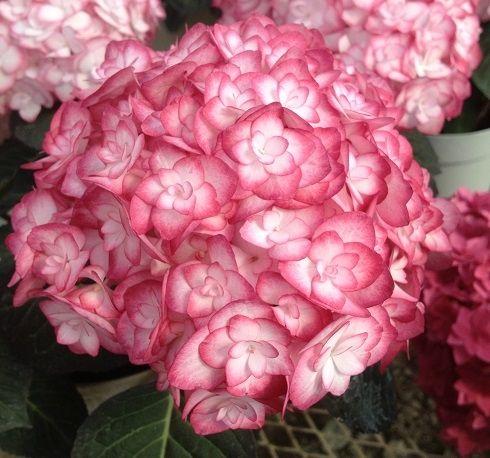Саженец Гортензии крупнолистовой Miss Saori: фото и описание
