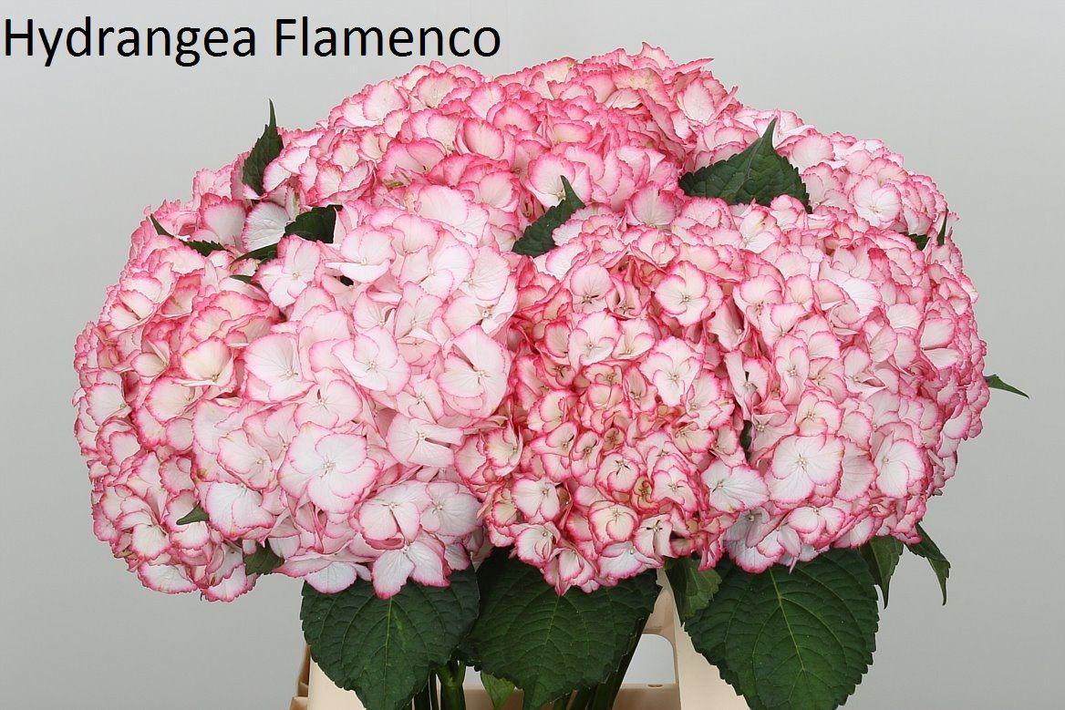 Саженец Гортензии magical Flamenco: фото и описание