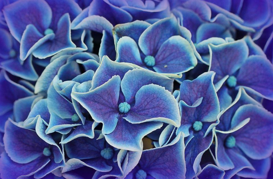 Саженец Гортензии Magical Flamenco blue: фото и описание