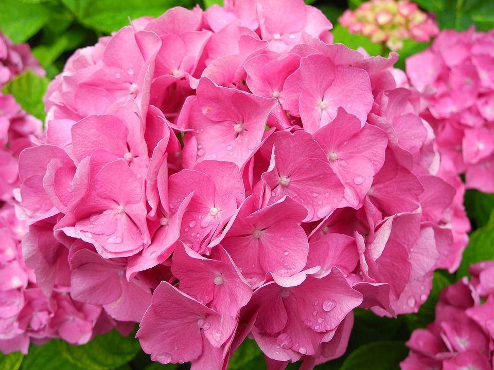 Саженец гортензии крупнолистной Romance Pink: фото и описание