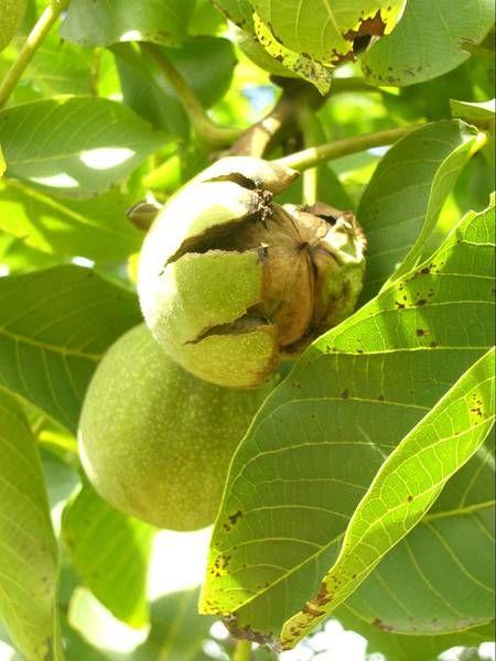 Саженец Грецкого ореха Аврора: фото и описание
