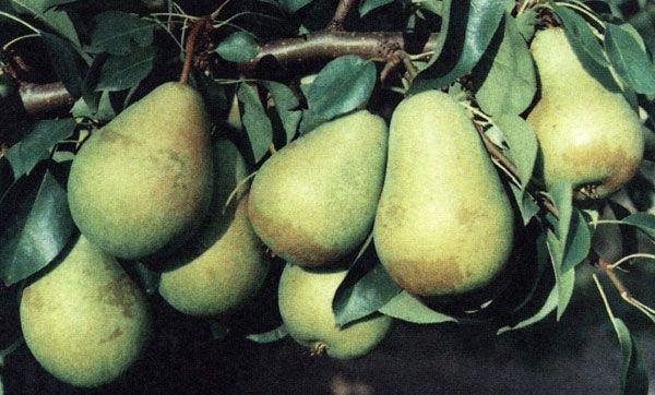 Саженец груши Выжница: фото и описание