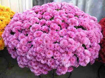 Саженец хризантемы мультифлора Белго Лилак: фото и описание