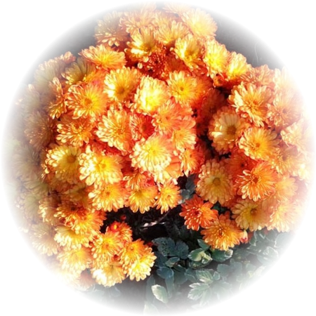 Саженец хризантемы Бран Бич Оранж: фото и описание
