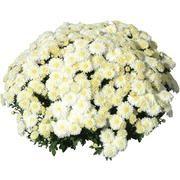Саженец хризантемы мультифлора Черил уайт: фото и описание