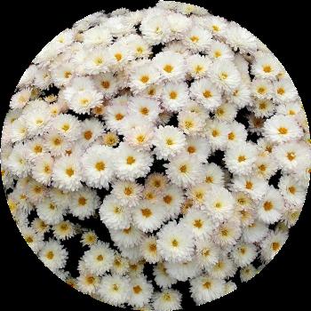Саженец хризантемы Дрим: фото и описание