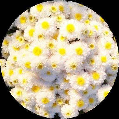 Саженец хризантемы Эльф Йеллоу: фото и описание