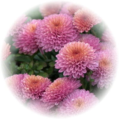 Саженец хризантемы ФОНТАЙН крем: фото и описание