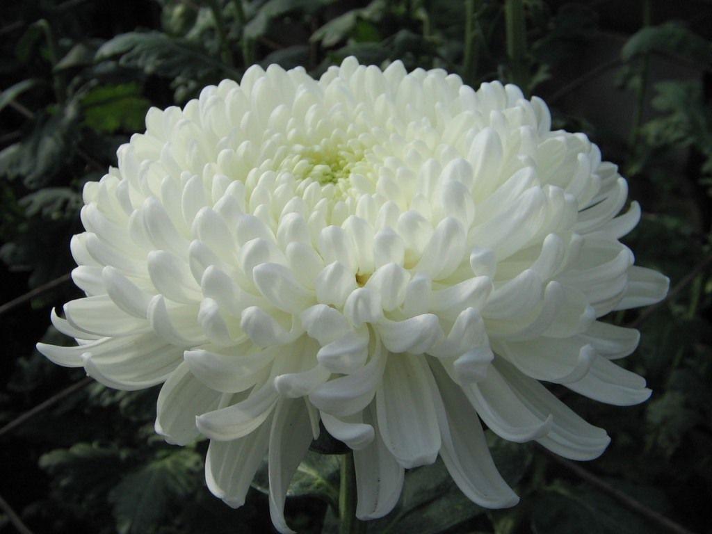 Саженец хризантемы Хрустальная Ваза крупноцветковая: фото и описание