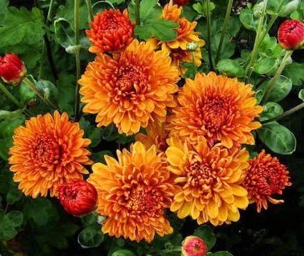 Саженец хризантемы Каштанка: фото и описание