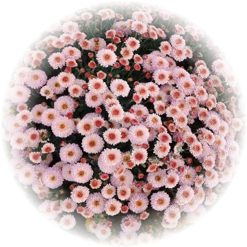 Саженец хризантемы КИНГ Пинк: фото и описание