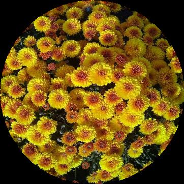 Саженец хризантемы КИНГ Йеллоу: фото и описание