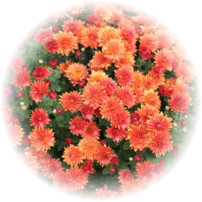 Саженец хризантемы мультифлора КОНАКО: фото и описание