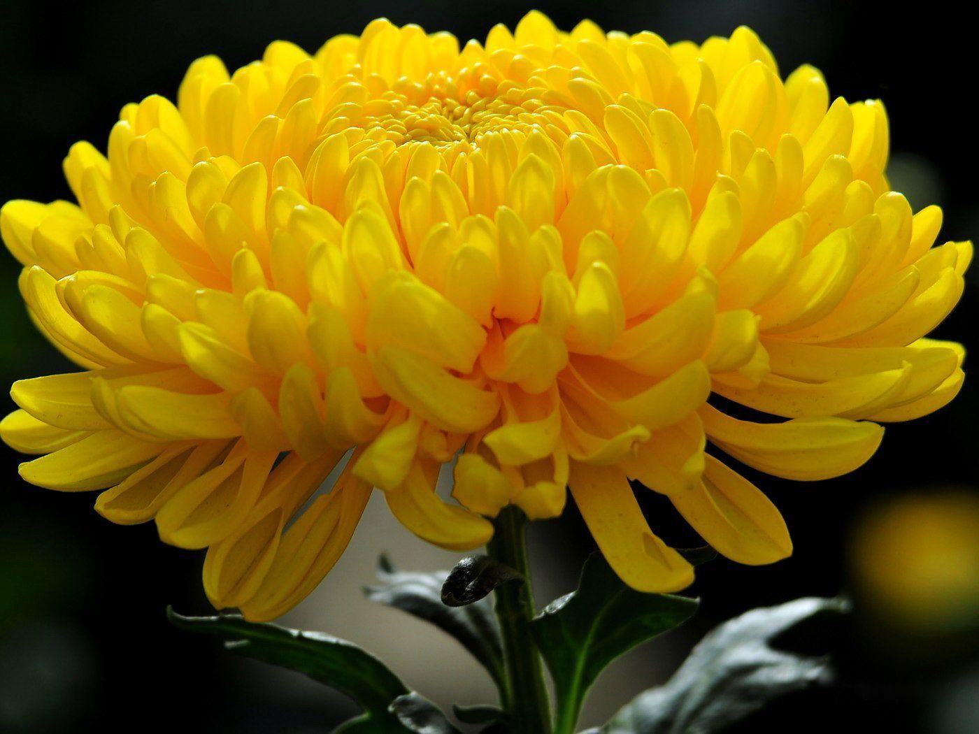 Саженец хризантемы Мираж крупноцветковая: фото и описание