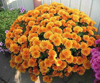 Саженец хризантемы Молфетта Оранж (мультифлора): фото и описание
