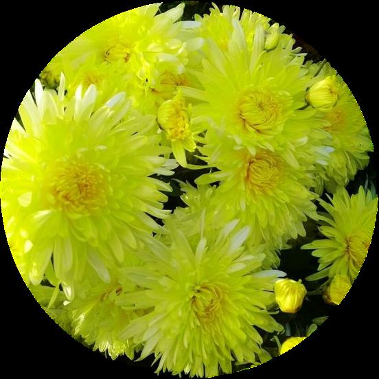 Саженец хризантемы мультифлора Москва желтая: фото и описание