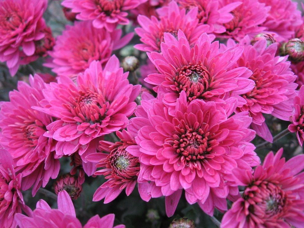 Саженец хризантемы (мультифлора) Brandrim: фото и описание