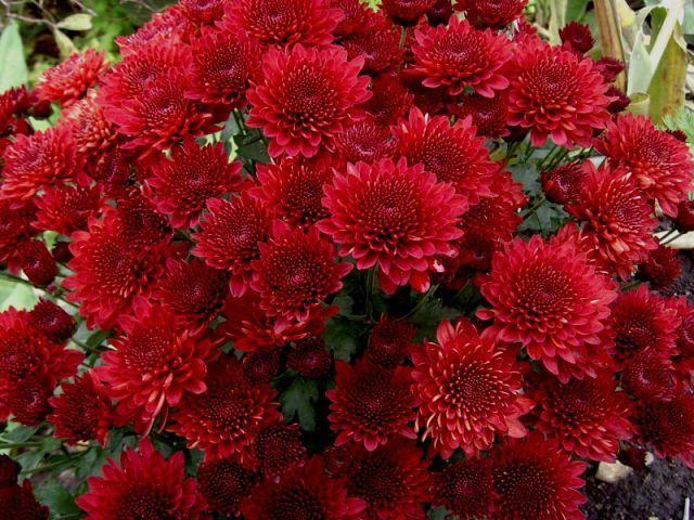 Саженец хризантемы мультифлора Branhill Red: фото и описание