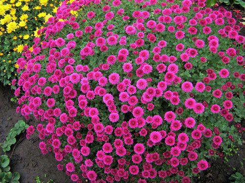 Саженец хризантемы (мультифлора) Проксима: фото и описание