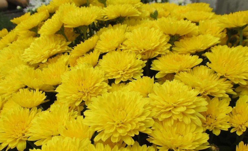 Саженец хризантемы мультифлора РАННЯЯ: фото и описание