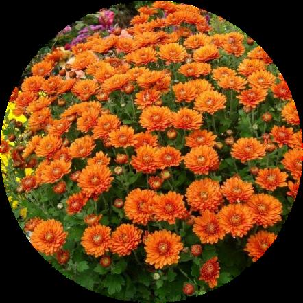 Саженец хризантемы мультифлора Наваре: фото и описание