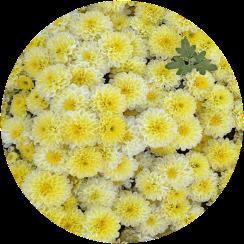 Саженец хризантемы Осса: фото и описание