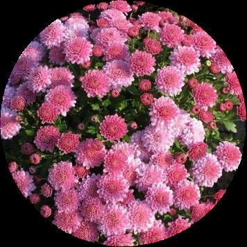 Саженец хризантемы мультифлора Падре лилак: фото и описание