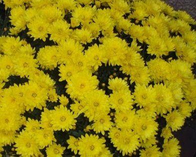 Саженец хризантемы мультифлора Пауло Еллоу: фото и описание
