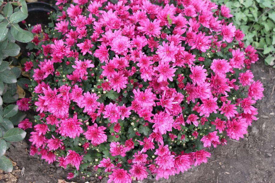 Саженец хризантемы Пауло Лилак мультифлора: фото и описание