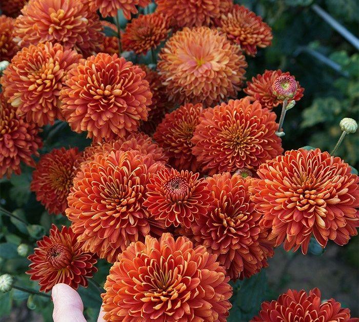 Саженец хризантемы Салютная: фото и описание