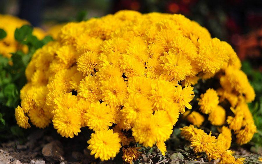 Саженец хризантемы Солнышко мультифлора: фото и описание