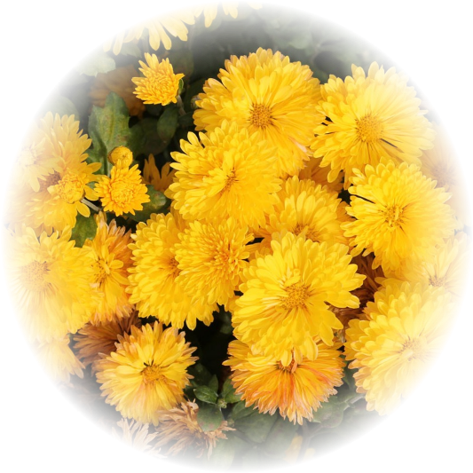 Саженец хризантемы Спейс Йеллоу: фото и описание