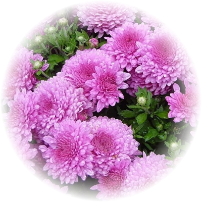 Саженец хризантемы мультифлора Сунд Пурпур: фото и описание