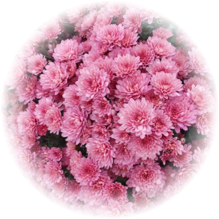 Саженец хризантемы Сунд: фото и описание