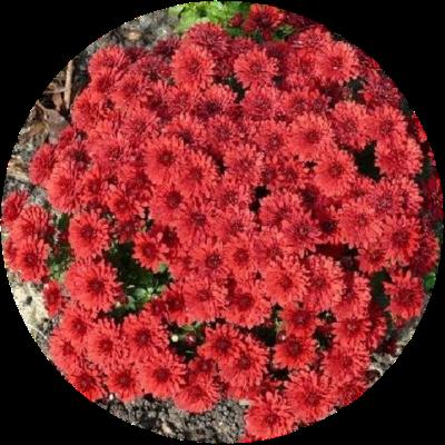 Саженец хризантемы Уранус: фото и описание