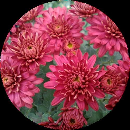 Саженец хризантемы мультифлора Урсула Ред: фото и описание