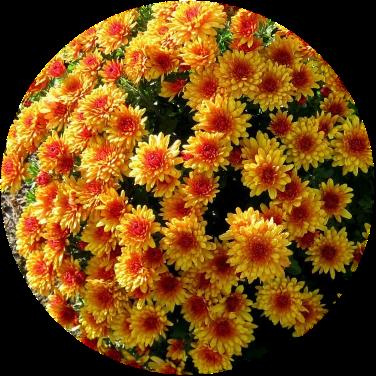 Саженец хризантемы ЯХО оранж: фото и описание